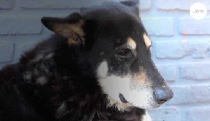 Murió Capitán, el perro que vivió los últimos 10 años junto a la tumba de quien fue su dueño (La Voz)