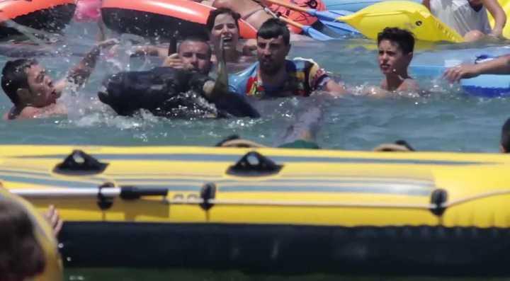 Vacas y toros al agua, un festejo en España denunciado por su crueldad