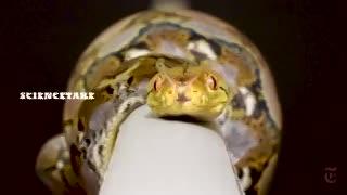 Secretos de cómo repta una serpiente