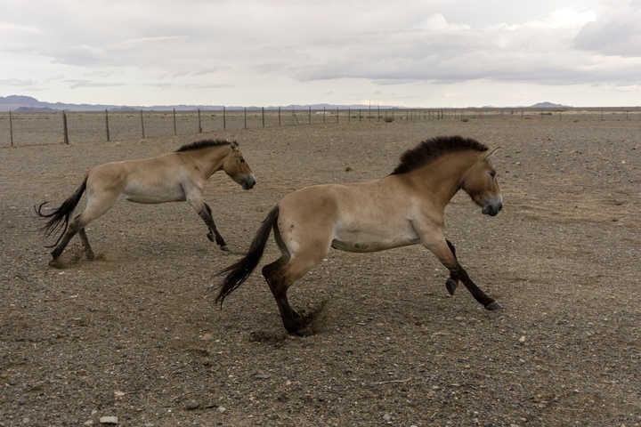 Del zoo a la tierra de sus antepasados: los caballos mongoles que vuelven a pastar en libertad
