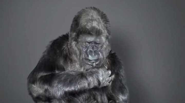 Murió Koko, la gorila que aprendió el lenguaje de señas (archivo Cerebro Digital)