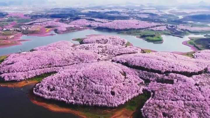 Las flores de cerezo en China