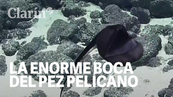 Registro inédito: Filman a un pez pelícano cuando abría su enorme boca