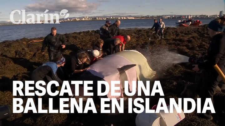 Así rescataron a una ballena encallada en Islandia