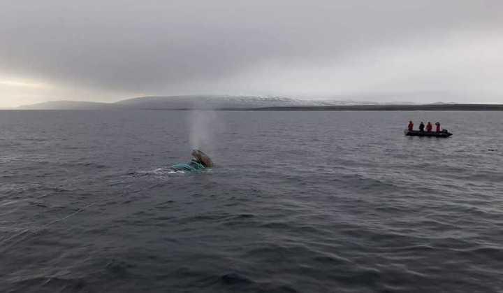 La ballena fue rescatada tras más de tres horas de trabajo