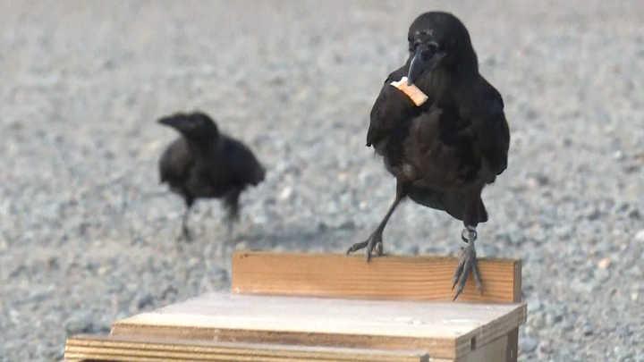 Cuervos entrenados: el insólito método de limpieza de un parque temático en Francia