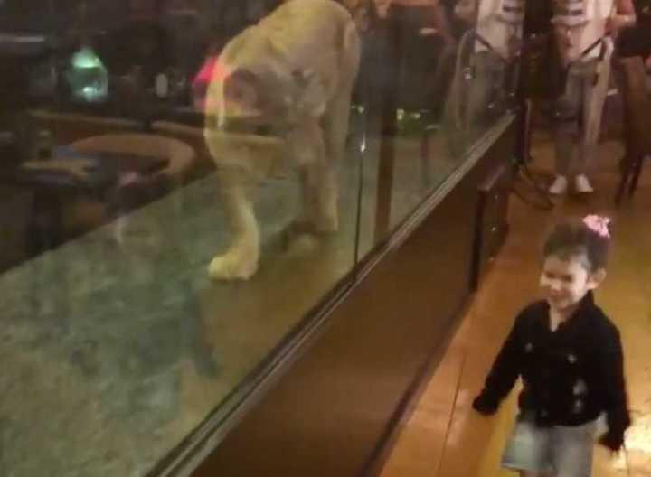 Turquía: Un café exhibía a una leona detrás de un vidrio