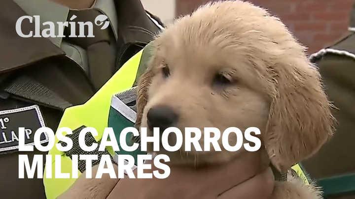 Pura ternura: 9 cachorritos se roban todas las miradas en un desfile militar en Chile