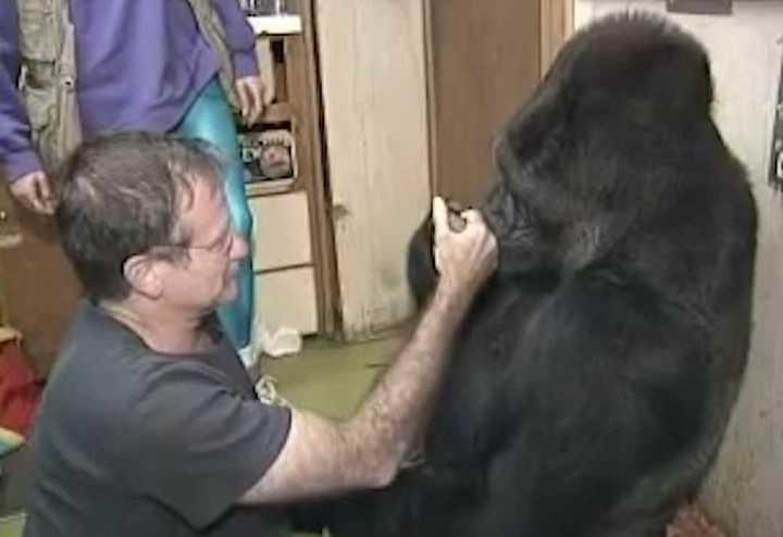 """Murió Koko, la gorila que """"habló"""" con Robin Williams"""