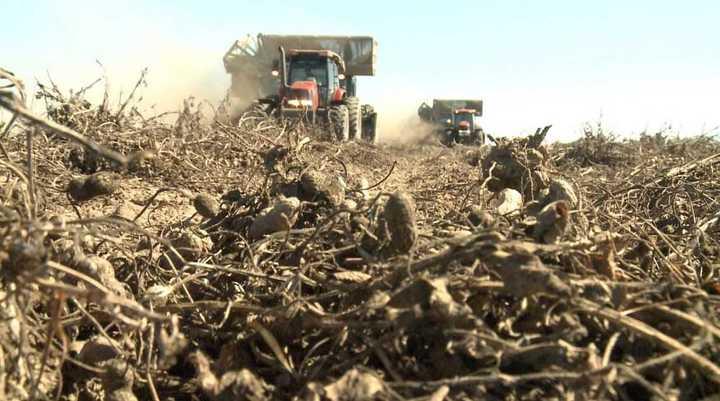 Maní: un cultivo extensivo con un manejo intensivo. Por: AgroTV-Diego Peydro